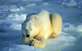 Polar bear in sleeping HD wallpaper