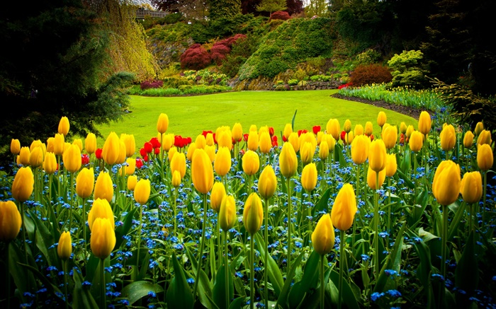 Queen Elizabeth Park, Canada, yellow tulips, lawn Wallpapers Pictures Photos Images