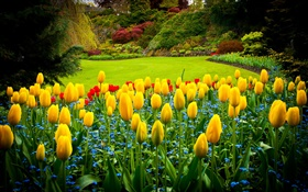 Queen Elizabeth Park, Canada, yellow tulips, lawn