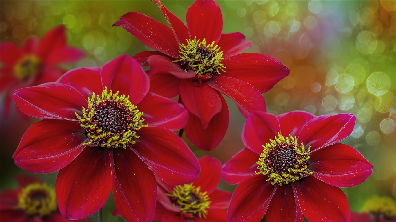 Red flowers macro photography, petals, pistil 1366x768 wallpaper