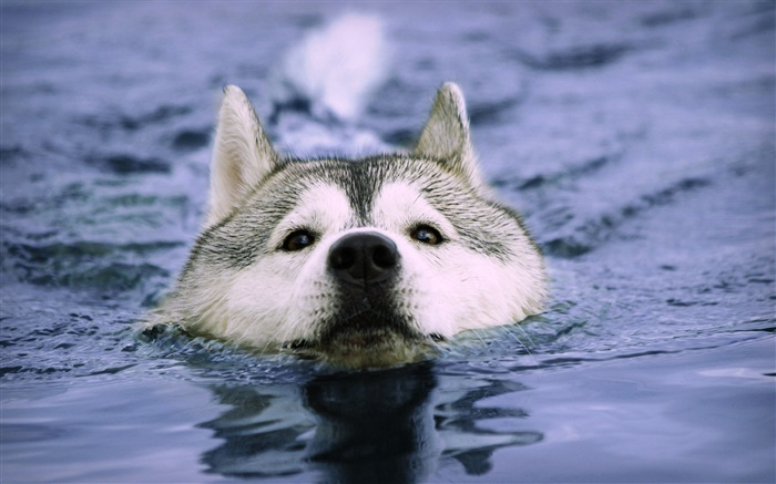 Wolf swim in the water Wallpapers Pictures Photos Images