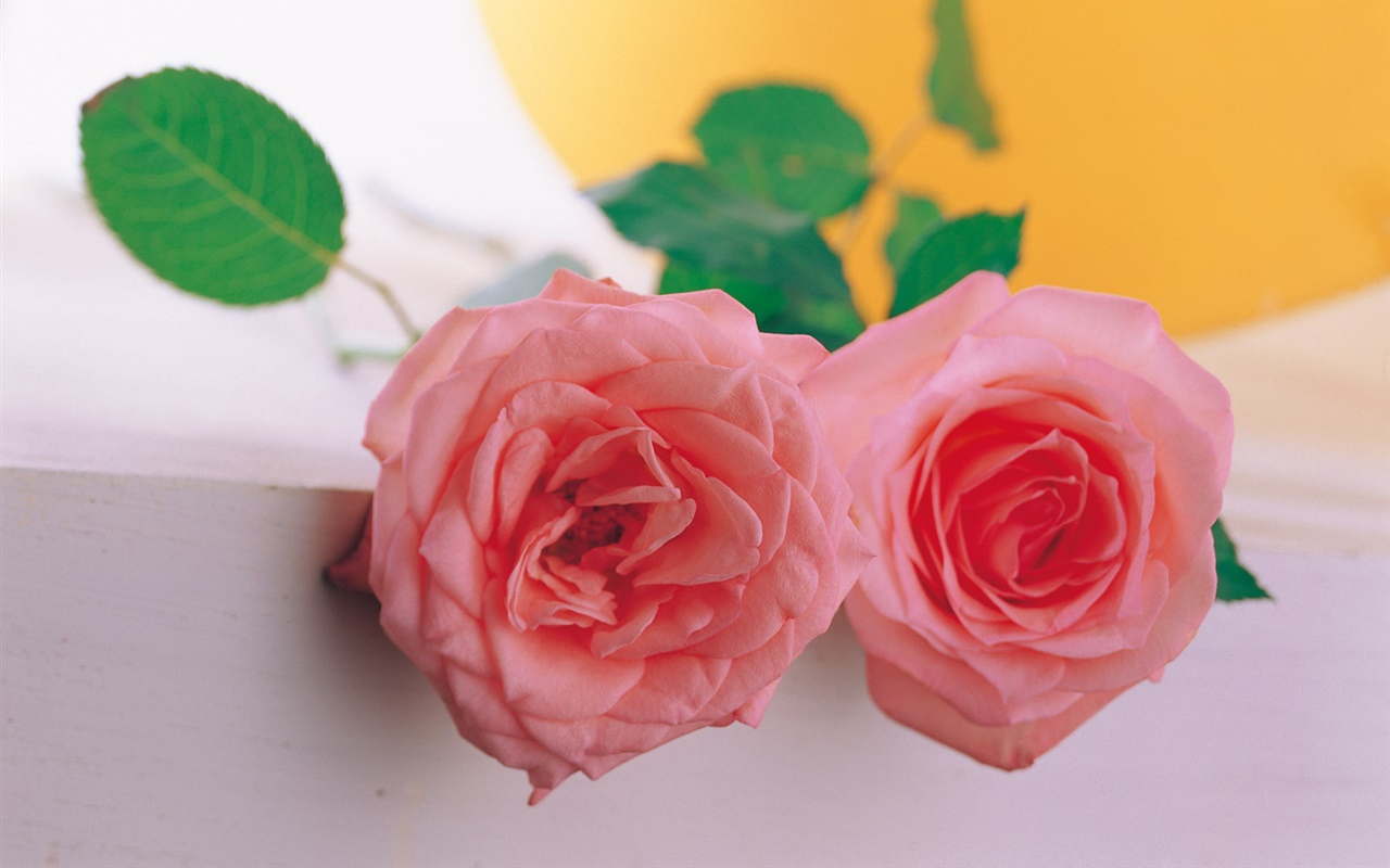 A pair of pink rose 1280x800 wallpaper