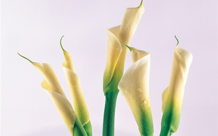 Calla lily, water drops Wallpapers Pictures Photos Images