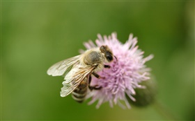 Insect bee close-up, pink flower HD wallpaper