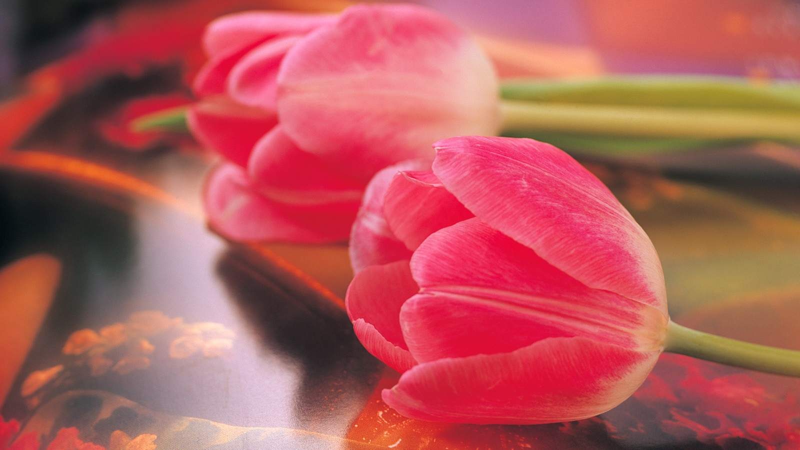 Pink tulips, flower close-up 1600x900 wallpaper