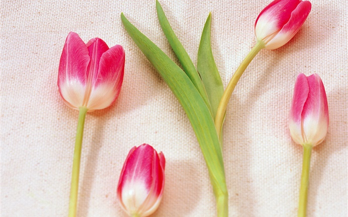 Pink white petals tulips Wallpapers Pictures Photos Images