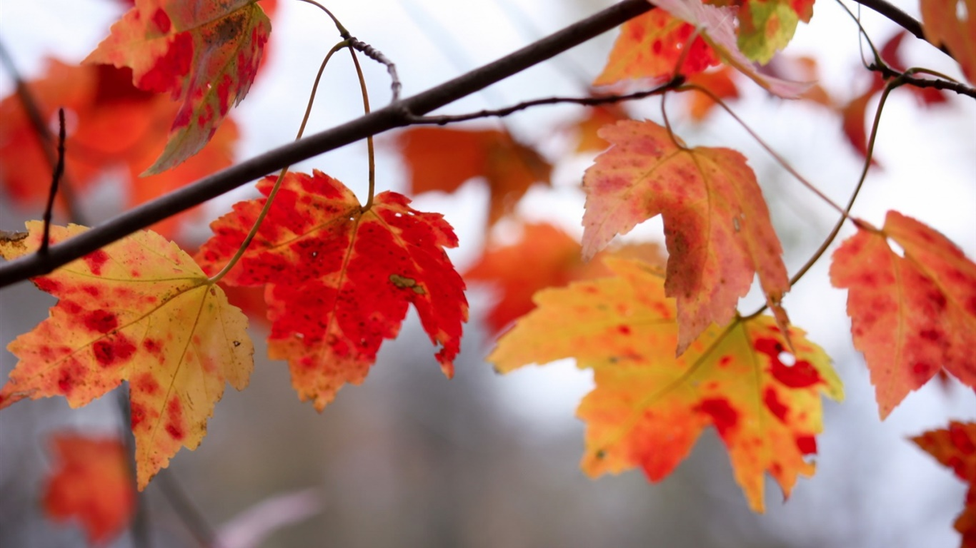 Red leaves, twigs, autumn 1366x768 wallpaper