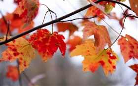 Red leaves, twigs, autumn HD wallpaper
