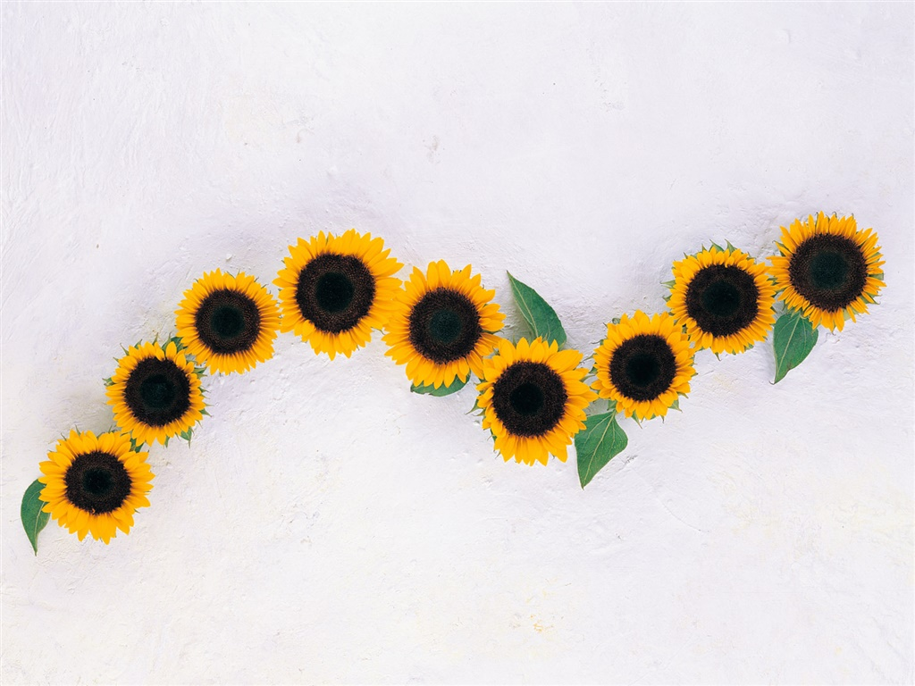 Sunflowers, white background 1024x768 wallpaper