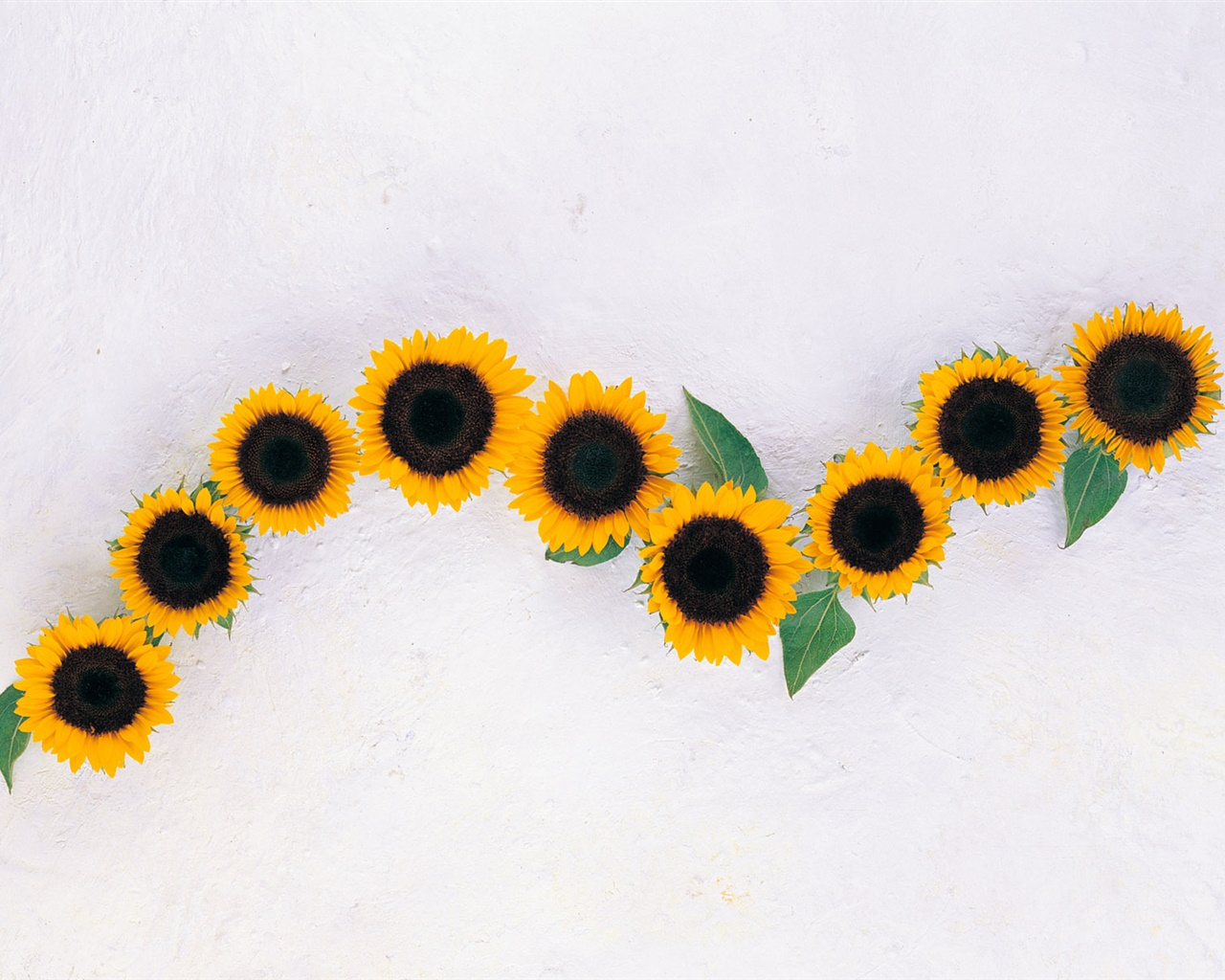 Sunflowers, white background 1280x1024 wallpaper