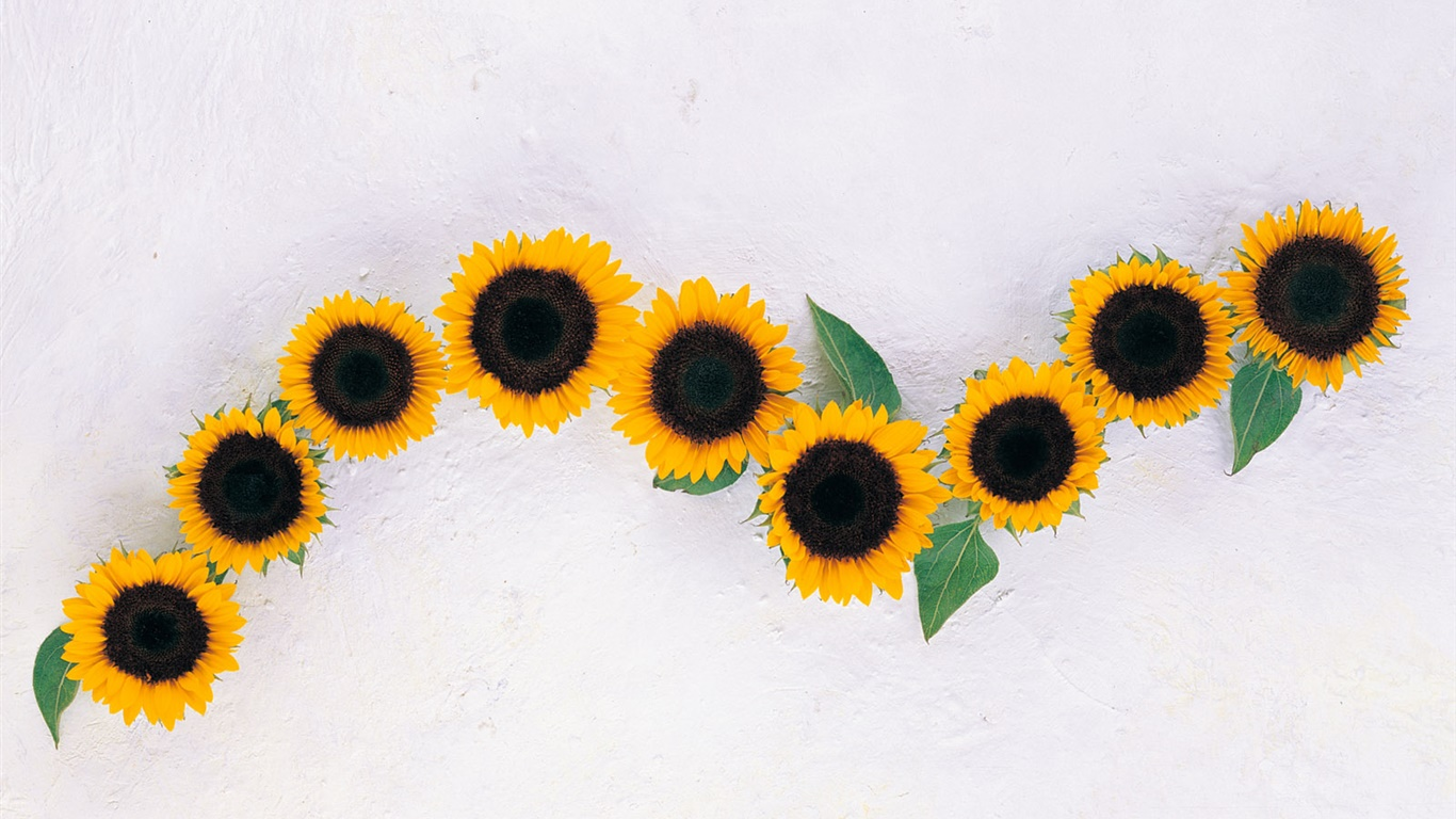 Sunflowers, white background 1366x768 wallpaper