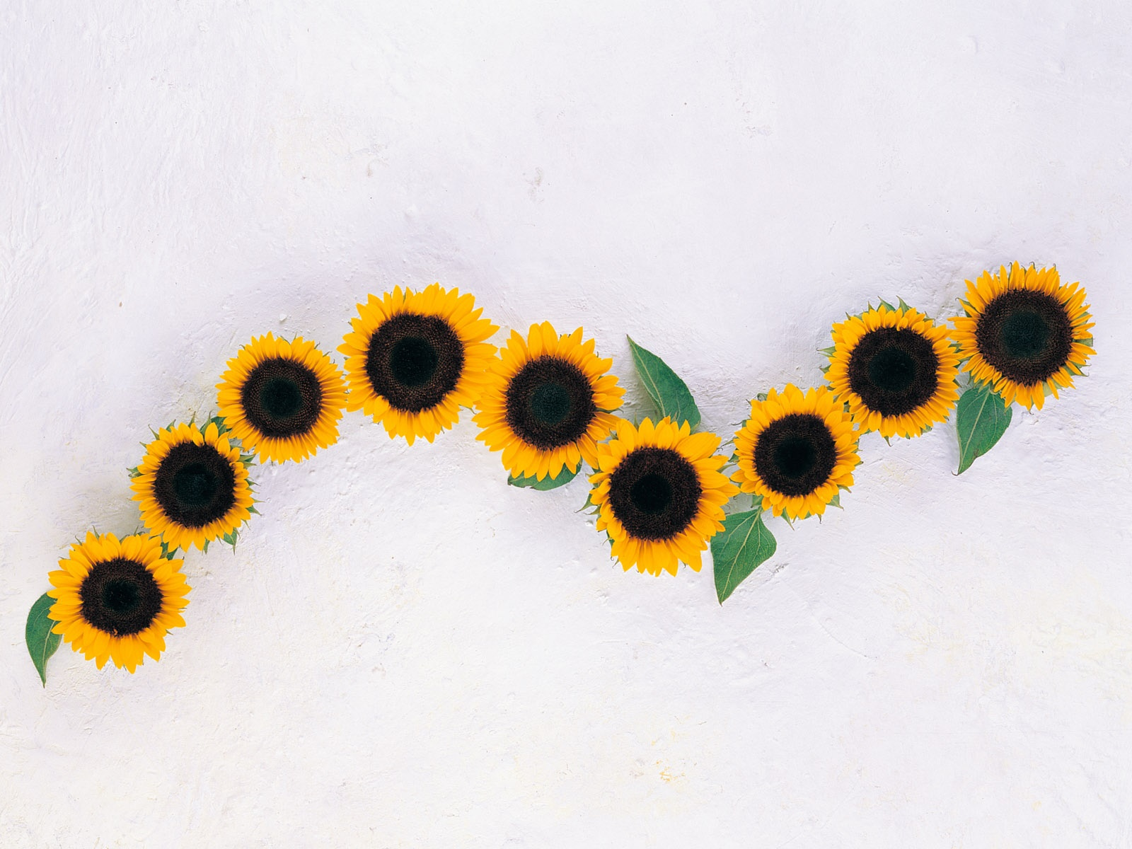 Sunflowers, white background 1600x1200 wallpaper