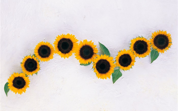 Sunflowers, white background Wallpapers Pictures Photos Images
