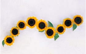 Sunflowers, white background HD wallpaper