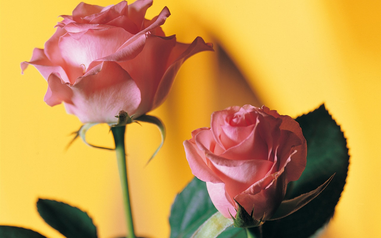 Pink rose, yellow background 1280x800 wallpaper