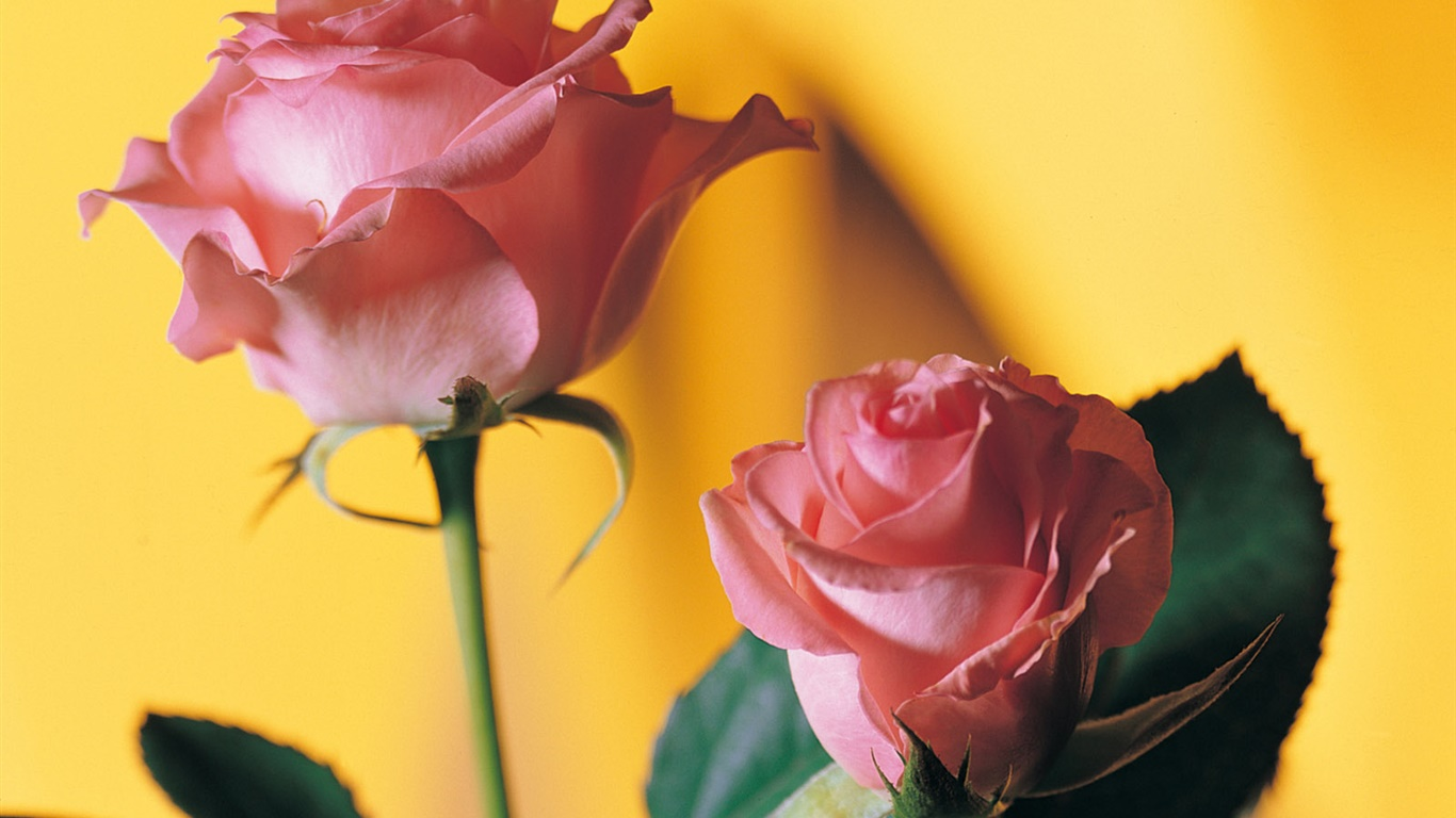 Pink rose, yellow background 1366x768 wallpaper