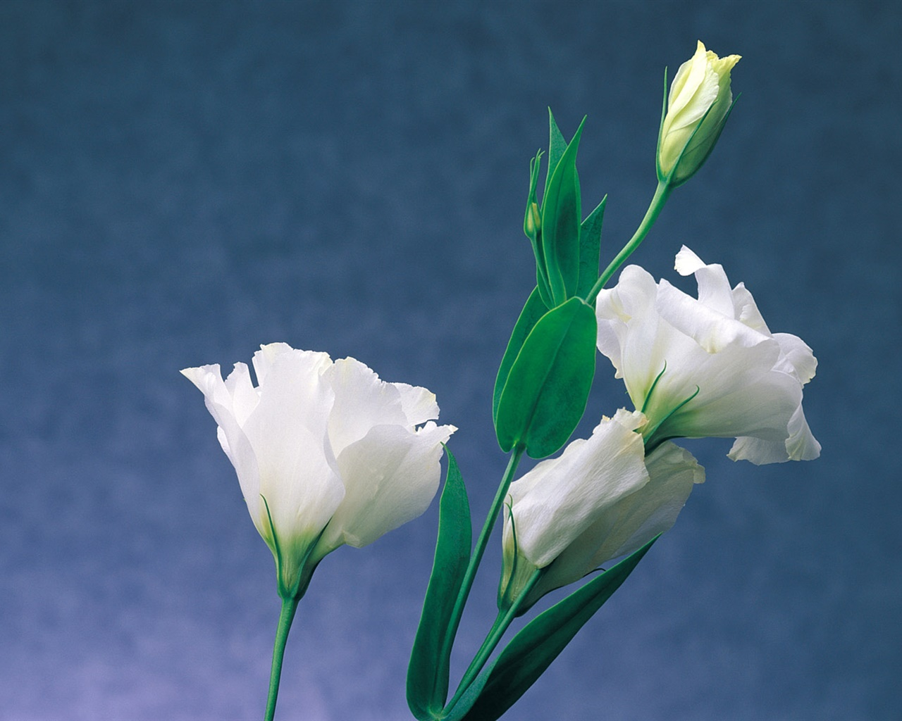 White carnations 1280x1024 wallpaper