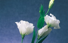 White carnations HD wallpaper