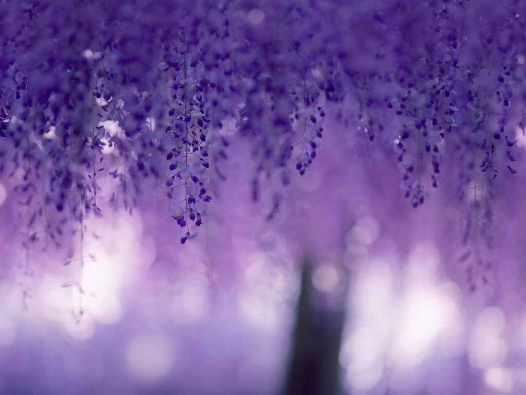 Wisteria, purple flowers, curtains 1024x768 wallpaper