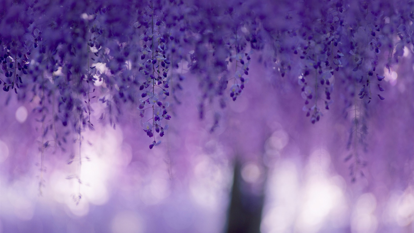 Wisteria, purple flowers, curtains 1600x900 wallpaper