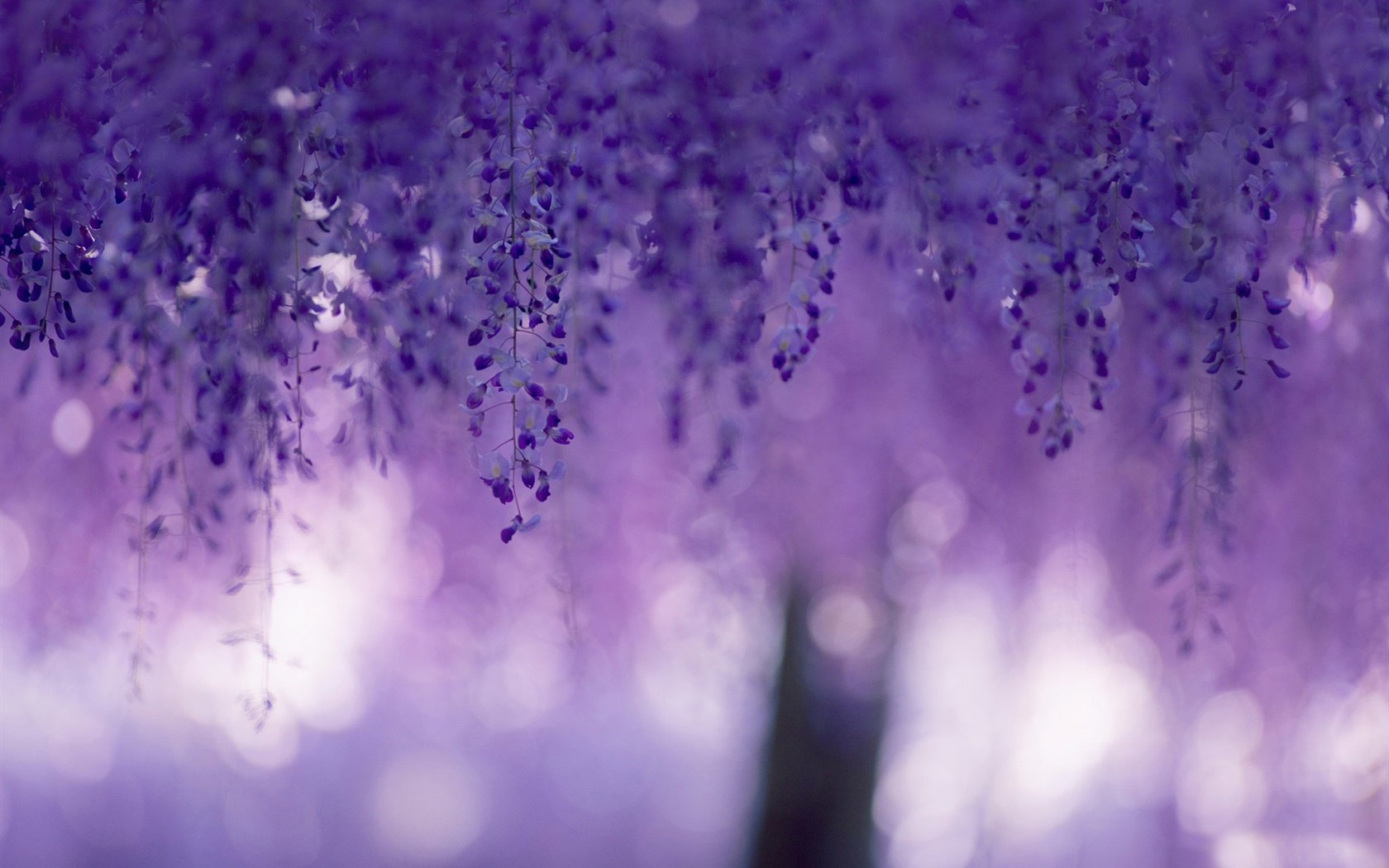 Wisteria, purple flowers, curtains 1680x1050 wallpaper