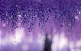 Wisteria, purple flowers, curtains