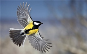 Chickadee flight, wings HD wallpaper