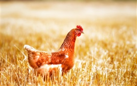 Chicken in grass HD wallpaper
