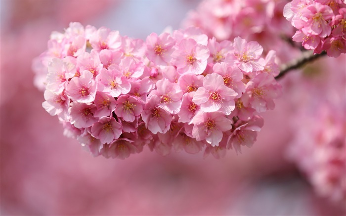Pink cherry flowers blossom, spring Wallpapers Pictures Photos Images