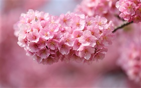 Pink cherry flowers blossom, spring HD wallpaper