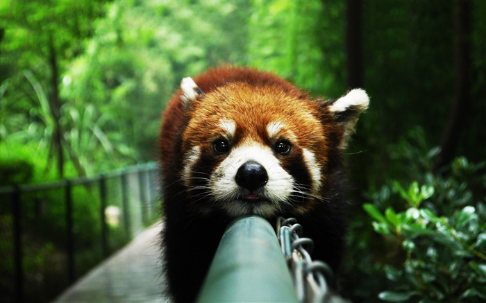 Red panda rest on fence Wallpapers Pictures Photos Images