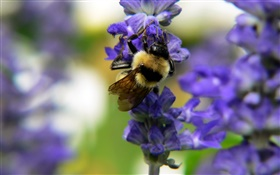 Insect bee, blue flowers, bokeh HD wallpaper