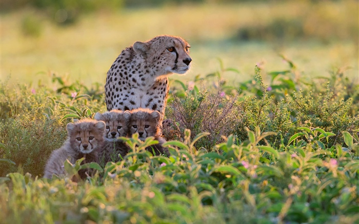 Africa, Tanzania, cheetahs family, bushes Wallpapers Pictures Photos Images