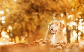 Autumn, dog, glare, blurry HD wallpaper