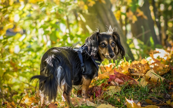 Black dog look back, leaves, autumn Wallpapers Pictures Photos Images