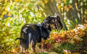 Black dog look back, leaves, autumn HD wallpaper