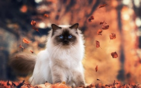 Blue eyes cat, autumn, leaves HD wallpaper