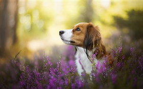 Dog, flowers, blurry HD wallpaper