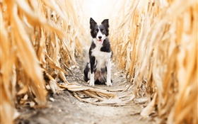 Dog front view, cornfield