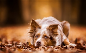 Dog have a rest, autumn, leaves HD wallpaper