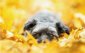 Dog hidden in the yellow leaves, autumn