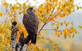 Hawk, autumn, trees