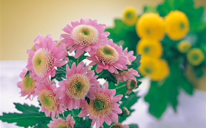 Pink chrysanthemum photography Wallpapers Pictures Photos Images