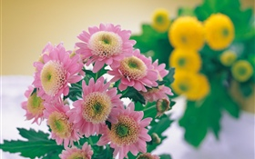 Pink chrysanthemum photography HD wallpaper