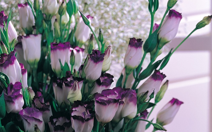 Purple white petals tulips Wallpapers Pictures Photos Images