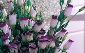 Purple white petals tulips
