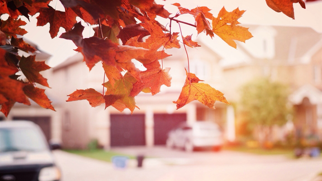 Red maple leaves, autumn, street 1366x768 wallpaper