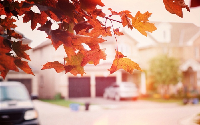 Red maple leaves, autumn, street Wallpapers Pictures Photos Images