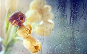 Tulips, glass, water drops HD wallpaper