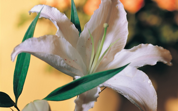 White lily flower Wallpapers Pictures Photos Images